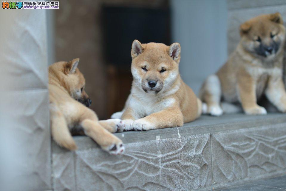正规犬舍繁殖出售秋田 柴犬等幼崽 疫苗齐全 可签订