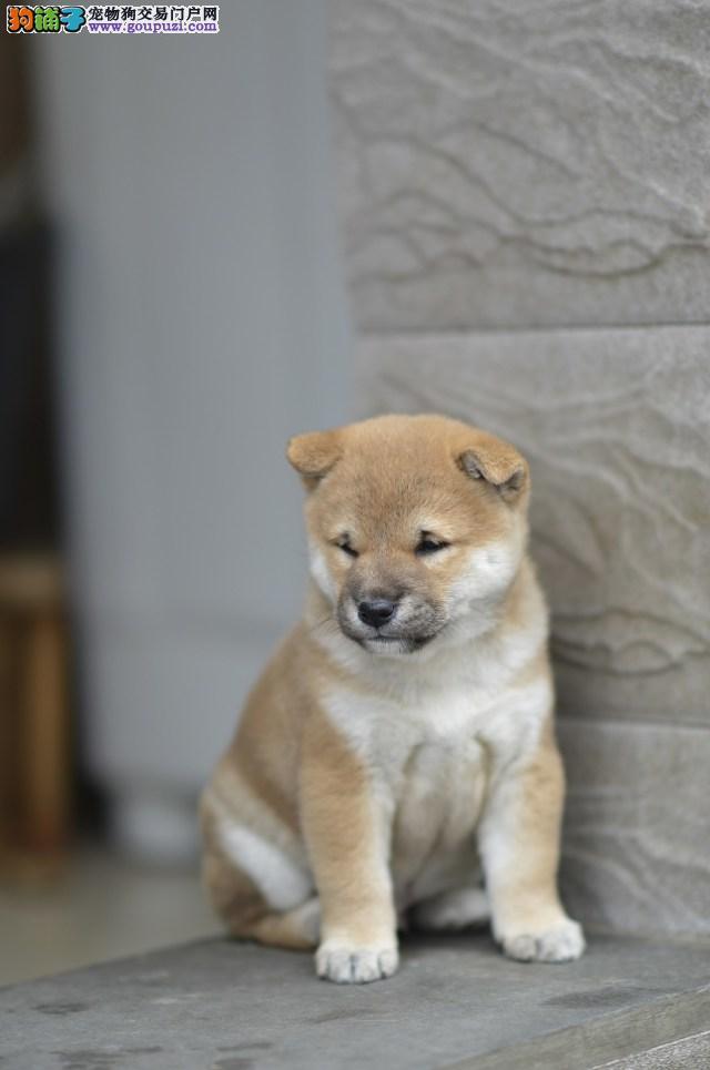 犬舍直销秋田幼犬 品质保障 价格低 疫苗齐全 包纯种