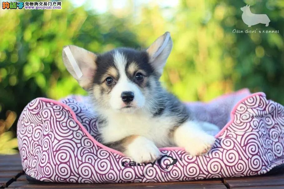 犬舍出售纯种柯基犬 可上门 保健康 疫苗驱虫已做