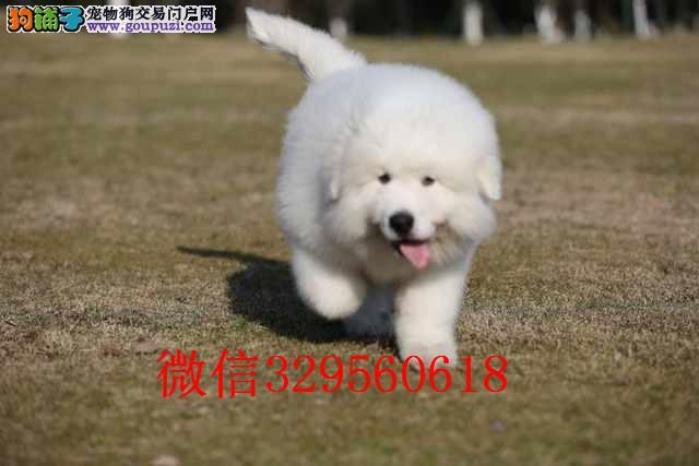 南昌出售纯种大白熊幼犬 大白熊能长多大 赛级大白熊