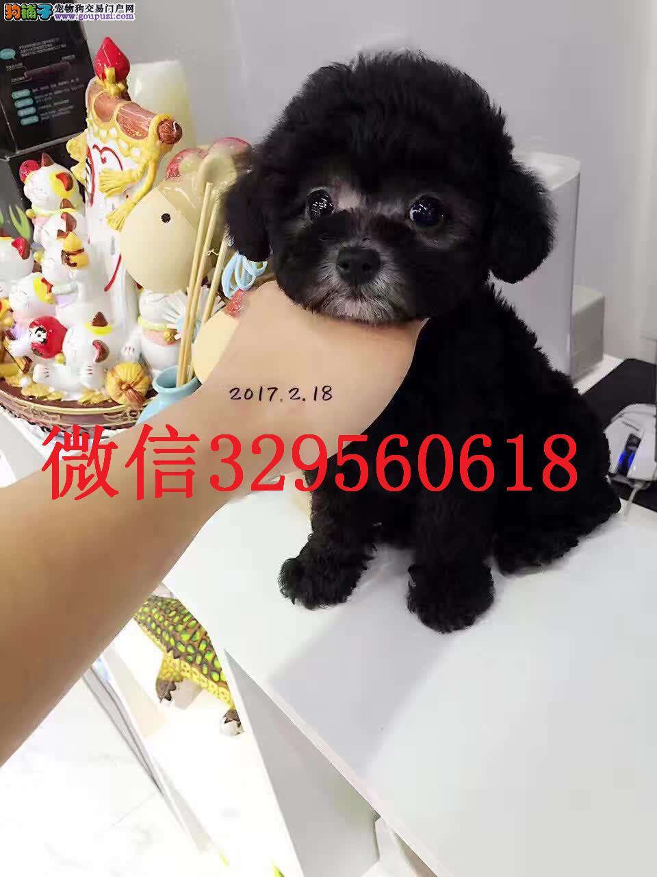 南昌出售纯种灰色泰迪 灰泰迪价格 灰色泰迪幼犬出售
