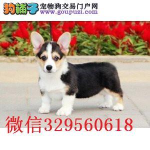 南昌哪里卖柯基犬 纯种柯基多少钱 赛级柯基幼犬出售