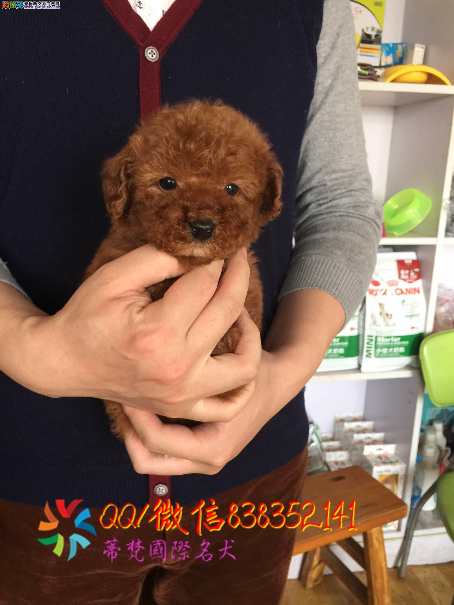 咸阳哪里卖泰迪熊 纯种泰迪犬多少钱 赛级泰迪幼犬