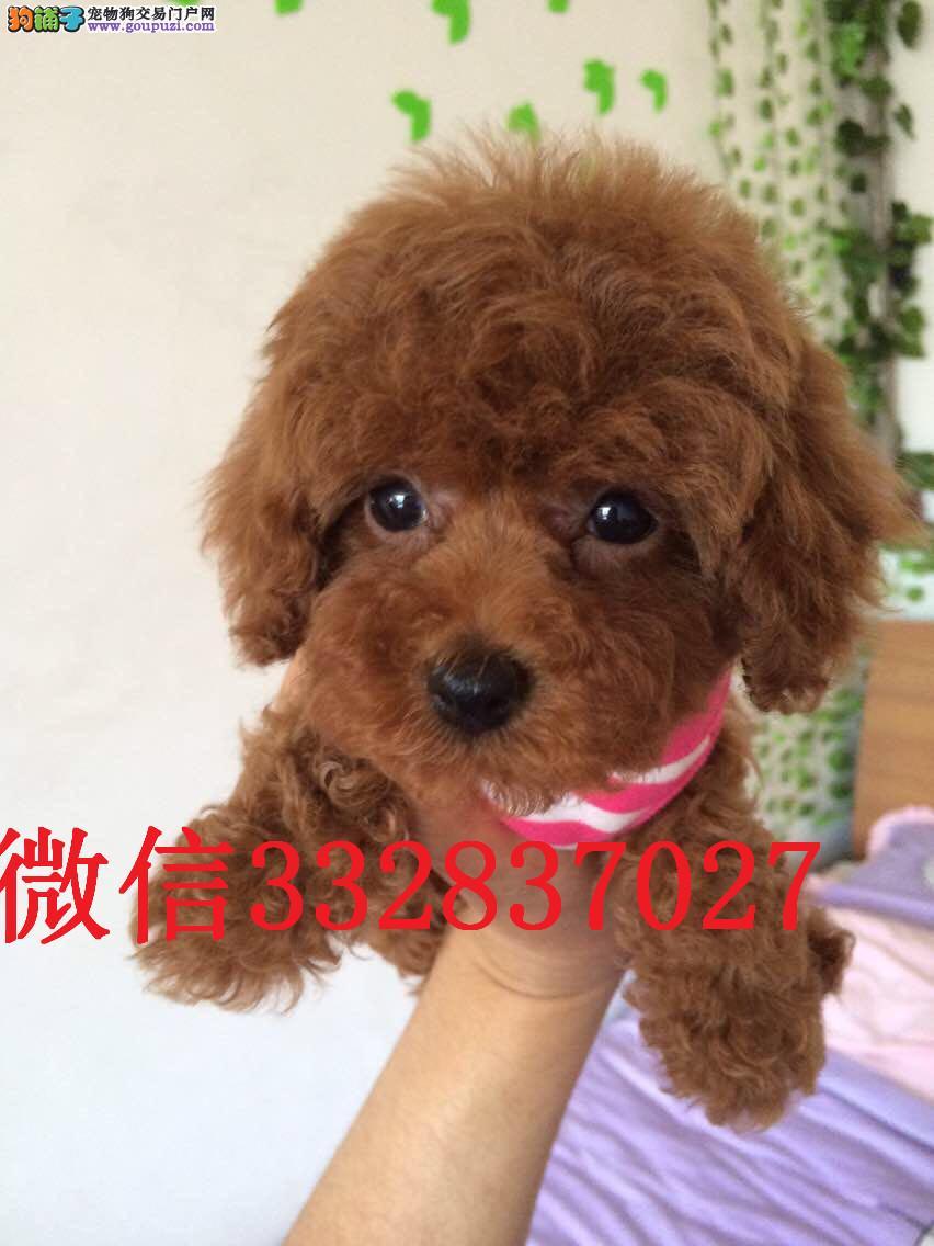 长期繁殖可爱玩具体泰迪幼犬纯种名犬 包养活签协议