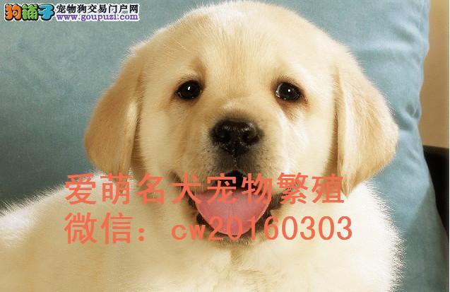 聪明护卫犬拉布拉多狗狗出售来我家看狗狗诚意的看看