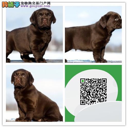 赛级拉布拉多犬,保健康,保纯种,合同三包,支持送货