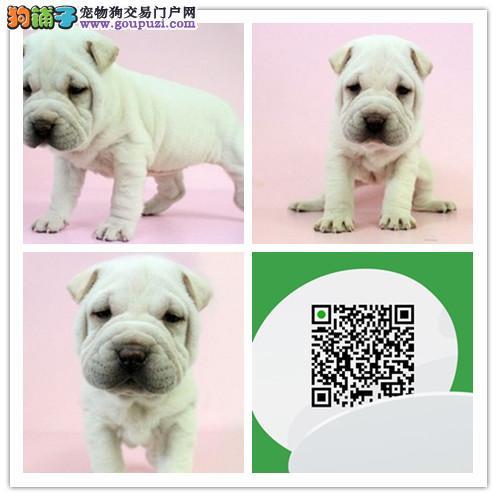 出售高品质沙皮狗幼犬 血统纯正 体型完美