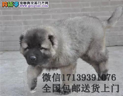 纯种活体大型高加索犬幼犬巨型熊版猛犬