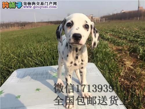 出售高品质大麦町幼犬 签署各项质保协议 质保三年