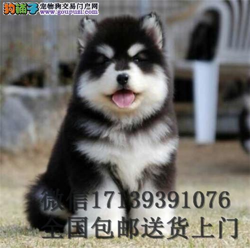 纯种巨型阿拉斯加幼犬阿拉斯加雪橇犬出售公母均有