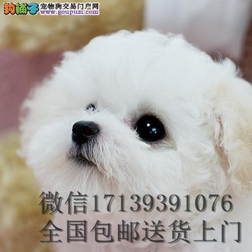 出售活体卷毛比熊/小方体迷你型/幼犬纯种比熊