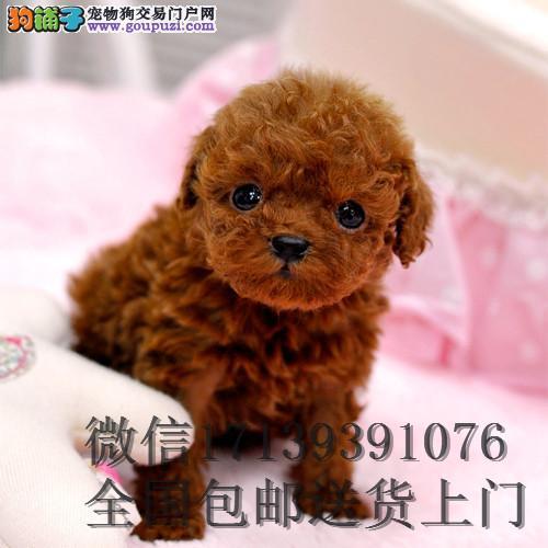 家养纯种红泰迪幼犬茶杯泰迪狗玩具型迷你赛级