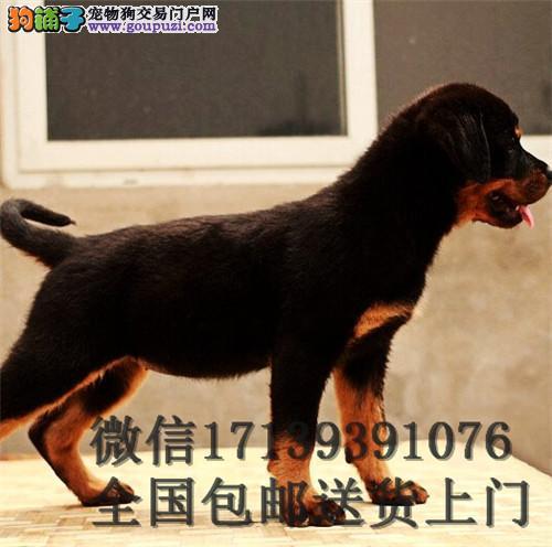 罗维纳幼犬罗威纳活体提供训练好的罗威纳