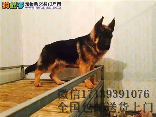 德国牧羊活体幼犬犬黑背狼狗幼犬出售活体宠物狗狗