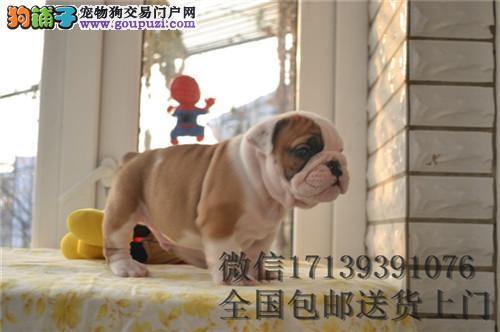 基地出售纯种英牛犬活体宠物狗狗英斗幼犬
