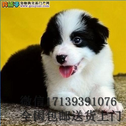黑白色纯种边牧幼犬 双血统中型犬边牧活体宠物狗
