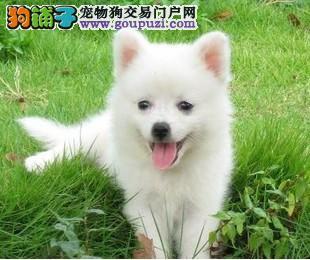 银狐犬 纯种幼犬出售赛级
