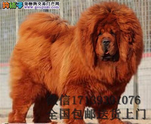 藏獒活体 狮子头藏獒 大型犬藏獒幼犬 藏獒幼犬出售