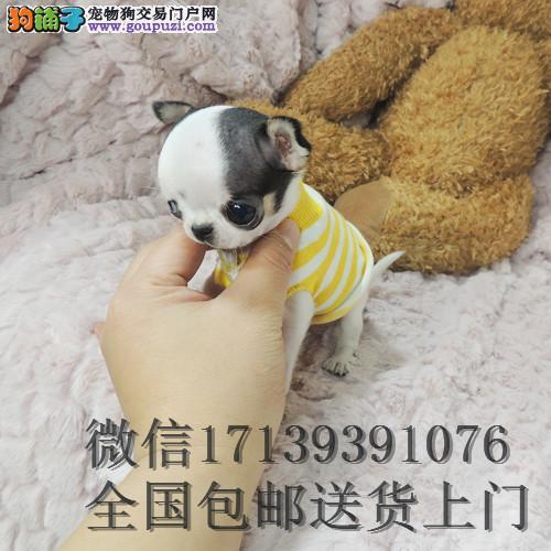 出售活体纯种迷你小体吉娃娃犬 幼犬袖珍