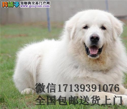 双血统大白熊出售 活体宠物狗狗 赛级大白熊包邮