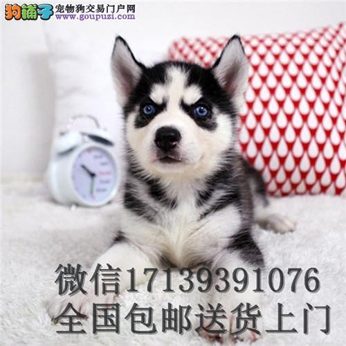 雪橇犬哈士奇幼犬双血统二哈货双蓝眼三把火赛级哈士奇