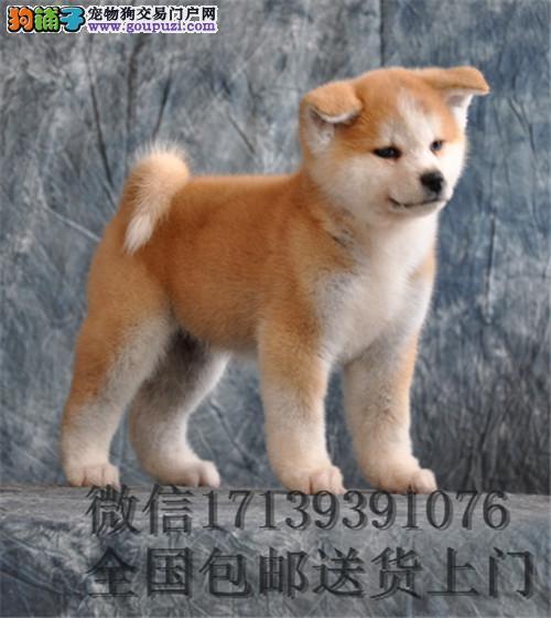 赛级双血统纯种日本秋田活体幼犬忠犬八公