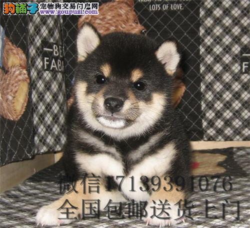 日本柴犬秋田幼犬出售 包健康中小型家庭犬