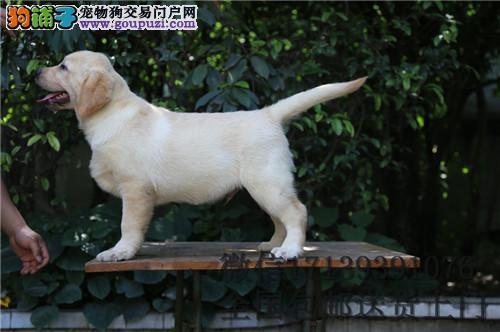 拉布拉多幼犬 活体 赛级双血统拉布拉多犬幼犬