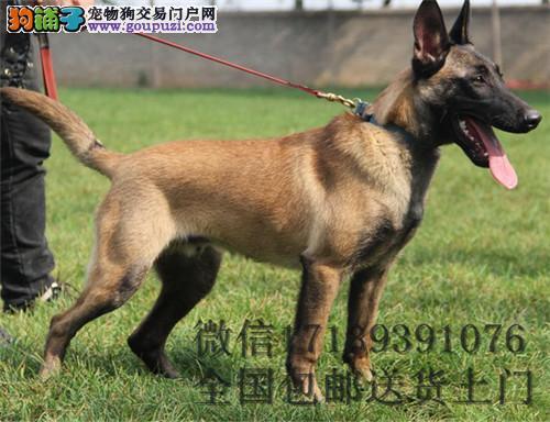 出售比利时马犬纯种,可做、可跳、可叼、可爬、好训练