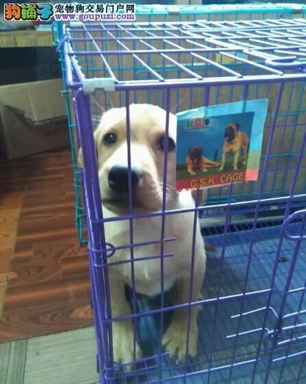 拉布拉多犬 专业繁殖 只做精品