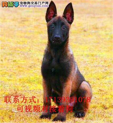 赛级马犬出售,双血统带证书,疫苗驱虫齐全,代训科目