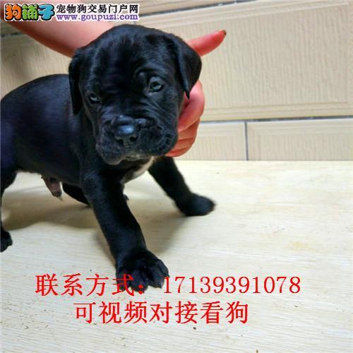 预售纯种卡斯罗护卫犬短毛大型活体卡斯罗幼犬