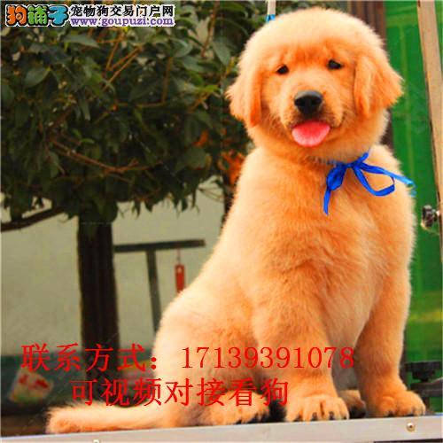 出售金毛幼犬纯种金毛大骨架双血统