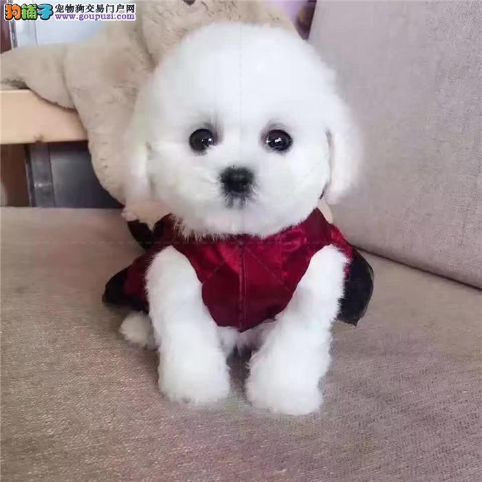 出售纯种精品赛级泰迪犬 泰迪幼犬 茶杯贵宾犬