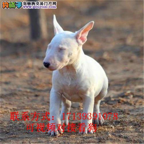 活体宠物狗赛级双血统牛头梗犬幼纯白