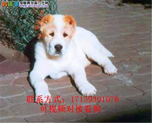 勇敢无畏的中亚牧羊犬包纯种包健康包养活