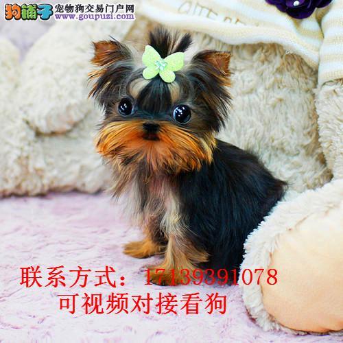 出售金头银背蓝背约克夏梗幼犬纯种赛级