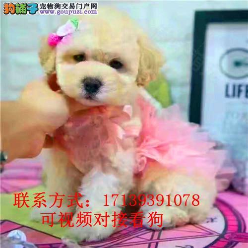 出售纯种精品贵宾犬 袖珍贵宾幼犬