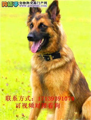 出售纯种狼狗犬、精心培育十年、可签订购犬协