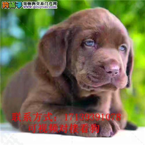 精品黑色拉布拉多犬出售包纯种
