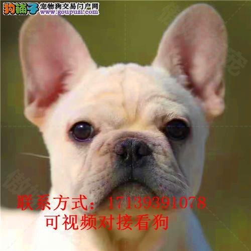 斗牛犬 纯种幼犬 奶油色奶白色 法国斗牛