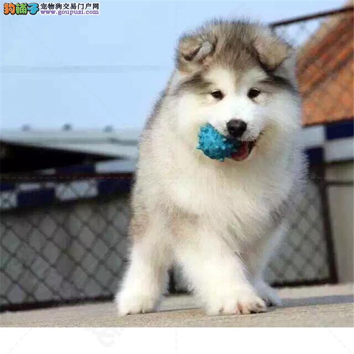 出售纯种巨型阿拉斯加犬 大骨架阿拉幼犬出售