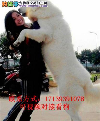 活体宠物狗纯种大白熊幼犬超大型大白熊公母