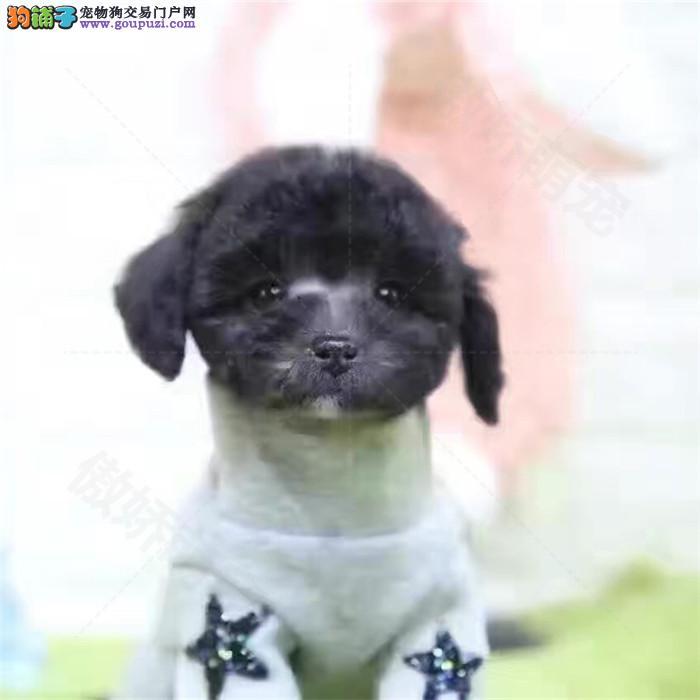出售纯种茶杯犬幼犬精品纯种