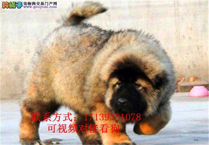预售纯种活体大型高加索犬幼犬巨型熊版猛犬0