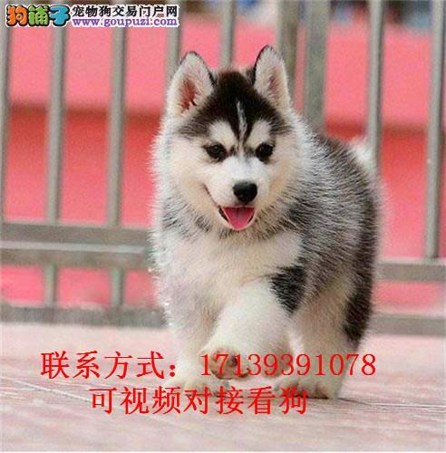 出售精品纯种哈士奇 二哈幼犬出售