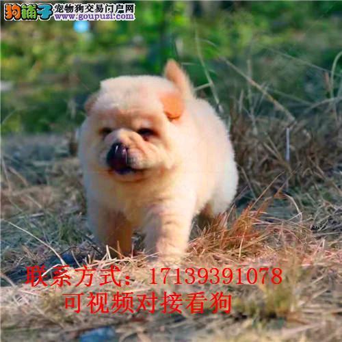 纯种松狮幼犬活体 大头肉嘴松狮犬