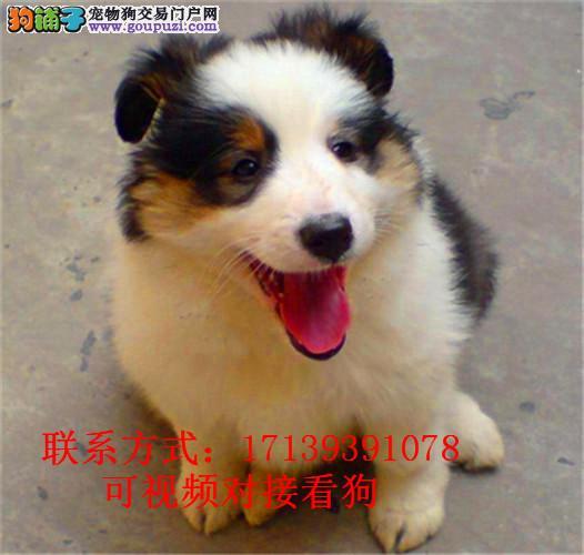 精品苏牧纯种健康出售幼犬