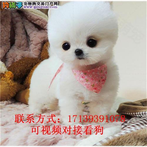出售博美犬纯种幼犬/哈多利球宠物狗