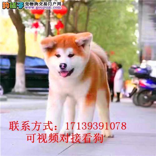 秋田犬 纯种幼犬 活体宠物狗 日系秋田